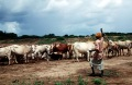 Herding cattle in Kismayo